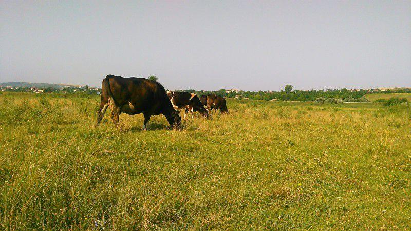 продавам две крави и две женски телета