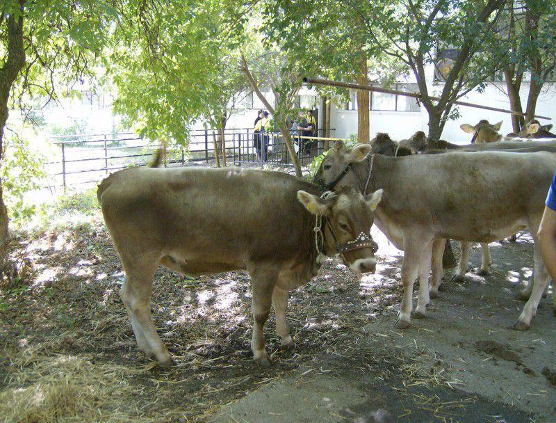 продавам крави и телета